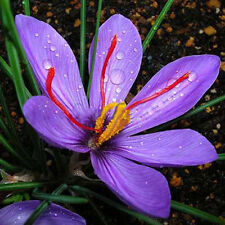 8pcs Saffron Crocus Seed Flower Garden Plant Vegetable Bonsai Home Decor