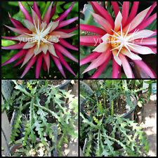 Ric Rac, Cryptocereus Anthonyanus, Orchid Cactus, Fish Bone Succulent 1 Cutting