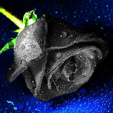 200Pcs Rare Black Rose Flower Plant Seeds Garden Decorations Beautiful