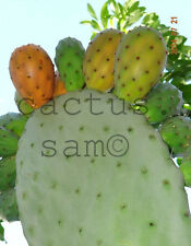 1 Orange Fruit Opuntia ficus indica pad, Prickly Pear, Paddle Cactus Tuna Nopal