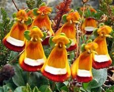 Calceolaria Uniflora seeds, 10 seeds rare, World most beautiful & unusual flower