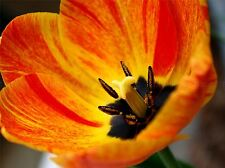 NATURE BOTANY FLOWER FLAME TULIP POSTER ART PRINT HOME PICTURE BB1315A