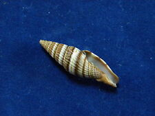 Sea shells Mitra Formosense Mitridae ID#3284B