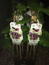 1X 2FT GRANDE Grape Vine Pianta da frutto-Vitis Vanessa Seedless - 2L