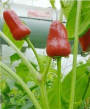 Vegetable - Chili / Chilli Pepper - Facing Heaven - 10 Seeds Unusual