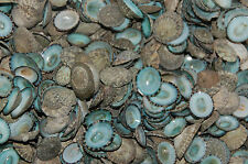 50 Quality Hand Picked Green Limpet Shells