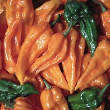 FATALII PEPPER 20 SEEDS SIZZLING HOT HABANERO-TYPE FROM CENTRAL AFRICAN REPUBLIC
