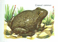 IMAGE CARD 60s Crapaud commun Bufo bufo Bufonidae Common toad