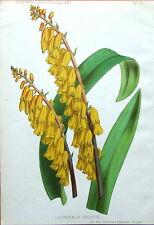 Lachenlia nelsoni, Garten Antiguo botánico Estampado de Flores 1887