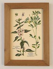 Heilpflanze Eibisch &  Bockshornklee Althaea Husten Faksimile 13 im Holzrahmen