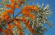 Sea Buckthorn - Hippophae Rhamnoides - 25 seeds -  Shrub - Berries - Hedging