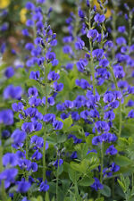 50 BLUE WILD FALSE INDIGO Baptisia Flower Seeds *CombSH