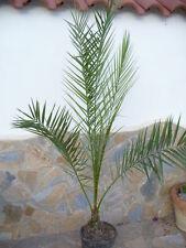 Phönix canariensis / robuste  dekorative Palme ca. 155 cm hoch,
