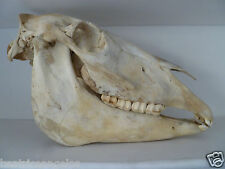 Horse's head total skull science medicine taxidermy art education collectible
