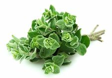 Greek Oregano Origanum Vulgare var Hirtum 500 seeds * herb * ez grow * E72