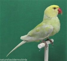 Pastel Yellow Green Indian Ringneck Real Bird Taxidermy Bird Mount