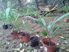 Trachycarpus fortunei Hanfpalme winterhart bis -17°C Palme Freiland 40cm #56