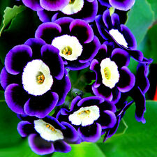 100pcs Trailing Tricolor Petunia Seeds Hanging Hybrida Garden Flowers Decoration