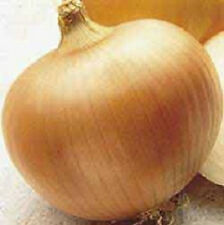 1,000 Utah Yellow Sweet Spanish Onion Seeds