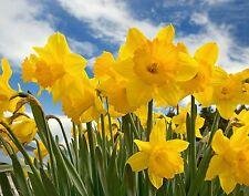 100  WILD DAFFODIL FLOWER  BULBS (NARCISSUS PSEUDONARCISSUS)