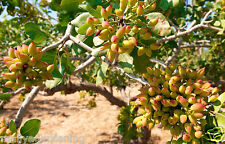 Live PISTA FRUIT (Pistachio) Plant - - 1 Healthy Plant - In  Pot