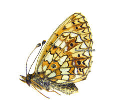 Unmounted Butterfly/Nymphalidae - Boloria selene selene, FEMALE, Russia
