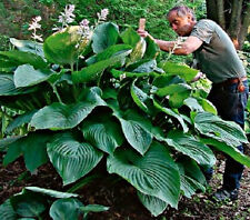 5 HOSTAS  ONE  EMPRESS  WU GIANT PLANT ALL NAMED AND DIFFERENT  + 1Free