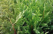 """Arborvitae-Thuja  'Green Giant' ~Lot of 50~  10-14"""" tall"""