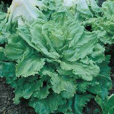3000 Heirloom Broadleaf Batavian Endive Seeds Escarole *Free Gift* - COMB S/H