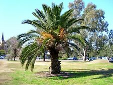 Phoenix canariensis-île des canaries date palm tree - 10 graines-hardy tropical