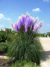 Purple Pompas Grass Seed. USA SELLER