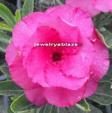 """Adenium Obesum Desret Rose """"shocky-pink"""" 50 Seeds !!"""
