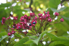 der schöne Losbaum ist einmalig wegen seiner interessanten, zweifarbigen Früchte