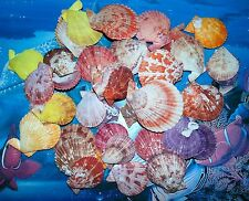 1/2 POUND NOBILIS PECTEN  SINGLE SEA SHELLS  BEACH NAUTICAL DECOR CRAFT