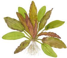 Echinodorus 'Red Diamond' von Tropica Wasserpflanzen Aquariumpflanzen