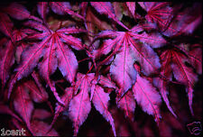 20 maple seeds tree purple ghost Acer palmatum Japanese Maple