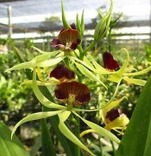"""Nano Orchids Hybrid Plants: Encyclia cochleata 3.5"""" pot size :OC08"""