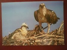 POSTCARD E3-13 ANIMALS OSPREY BRITISH BIRDS