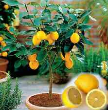 10pcs/pack Yellow Lemon Seeds Balcony Patio Potted Fruit Trees Planted Seeds