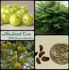 10 INDIAN GOOSEBERRY SEEDS (Phyllanthus emblica) AMLA Tree Health Medicinal
