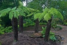 Hardy Tropical Tree Fern (Dicksonia Antarctica) - 25+ Fresh Spore (seeds)