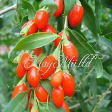 1 Bag Goji Berry Lycium Chinense Barbarum Wolfberry Garden Durable Plant Seeds