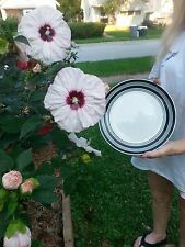 40 HIBISCUS DINNER PLATE SIZED HARDY MIXED SEEDS 10+ INCH BLOOMS