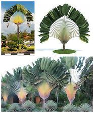 10 semillas de Ravenala madagascariensis, Palma de viajero,seed S