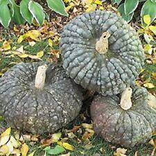 Heirloom MARINA DI CHIOGGIA Pumpkin 15 SEEDS Great for Gnocchi WINTER SQUASH
