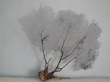 "16.5""x 15.5"" Natural Black Color Caribbean Sea Fan Reef Coral"