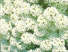Alyssum - Carpet of Snow - approximately 500 seeds