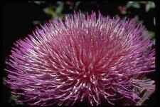 410043 floración alcachofa Cynara spp A4 Foto Impresión