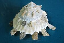 "Xenophora Granulosa 79.2 mm F++/++""beautiful shell carrier""!!!."