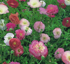 PAPAVER - POPPY - INDIAN DOUBLE SHIRLY MIX 4000  FLOWER SEEDS